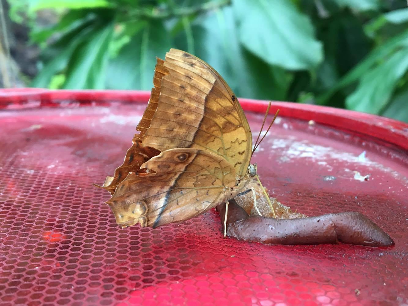 En sommerfugl der går lidt frokost på en af de mange fodre bakker.